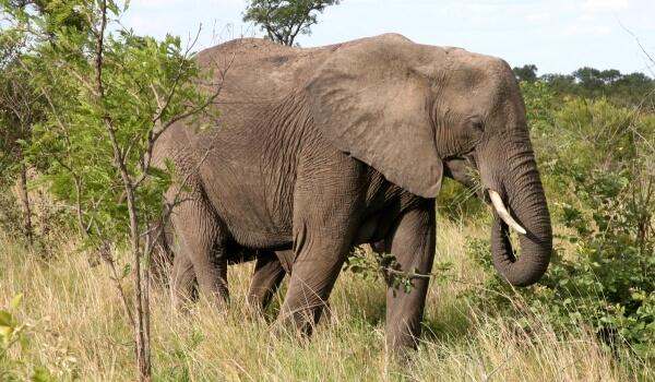 Фото: Животное Большой африканский слон