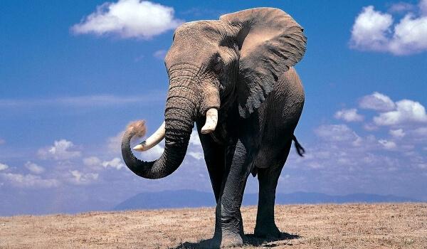 Фото: Африканский слон Красная книга