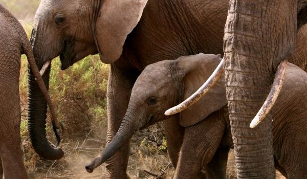 Фото: Африканский слон из Красной книги