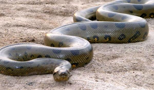 Фото: Змея анаконда