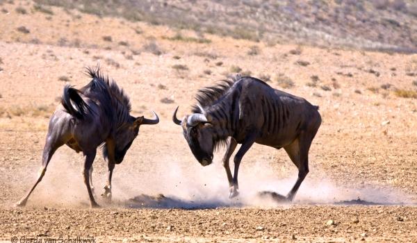 Фото: Африканская антилопа гну