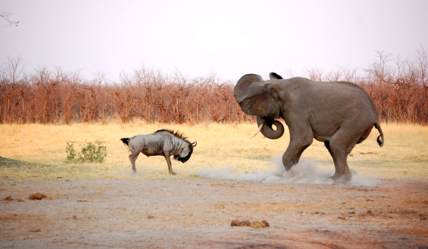 Фото: Антилопа гну и слон