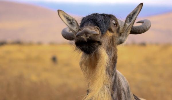 Фото: Животное антилопа гну