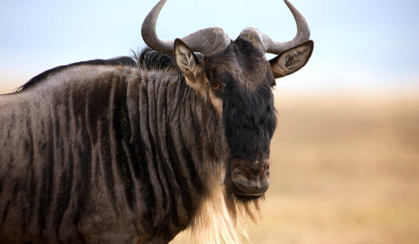 Фото: Антилопа гну