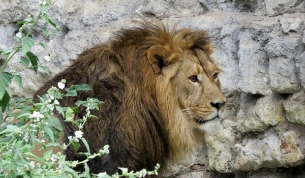 Фото: Азиатский лев из Красной книги