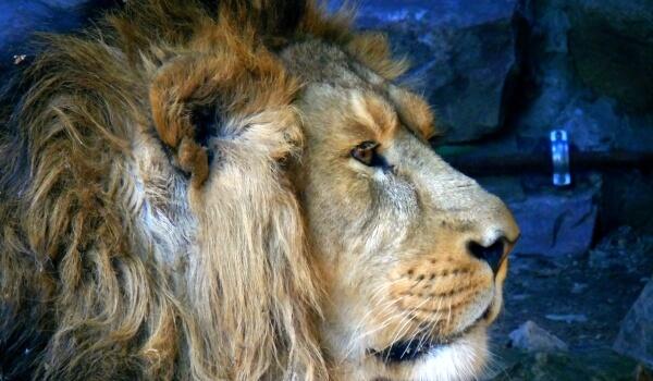 Фото: Азиатский лев Индия