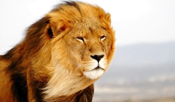 Фото: Азиатский лев в Индии