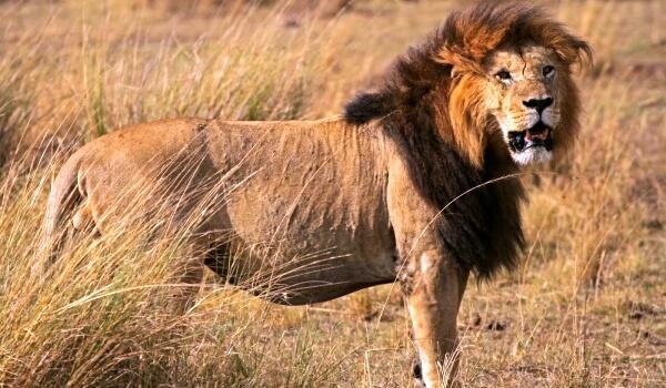 Фото: Животное азиатский лев
