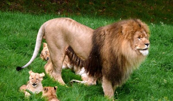 Фото: Детеныши азиатского льва
