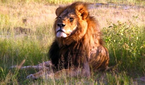 Фото: Азиатский лев