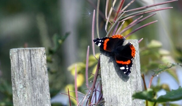 Фото: Бабочка адмирал Красная книга