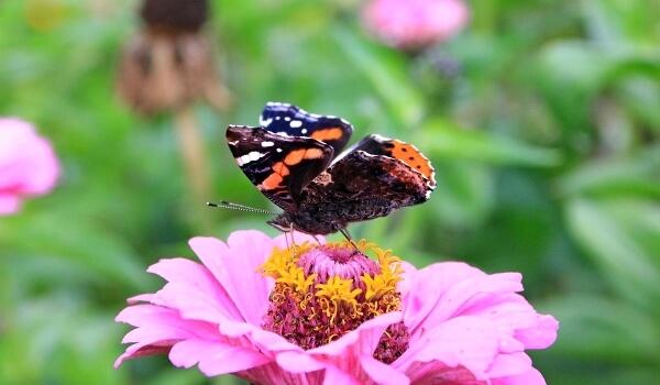 Фото: Бабочка адмирал из Красной книги