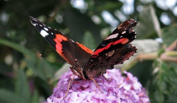 Фото: Бабочка красный адмирал