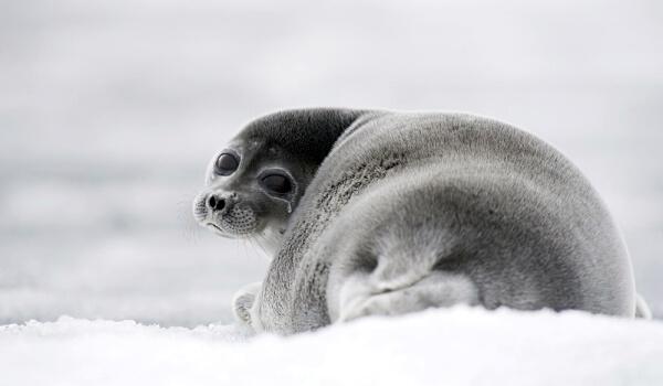 Фото: Байкальская нерпа тюлень
