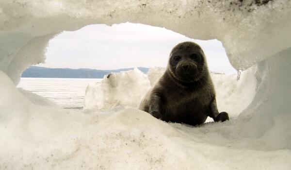 Фото: Байкальская нерпа зимой