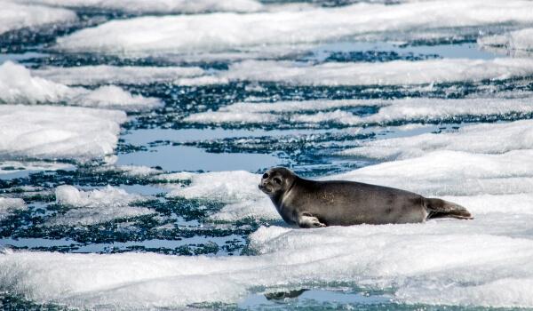 Фото: Байкальская нерпа на льду