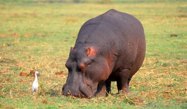 Фото: Обыкновенный бегемот