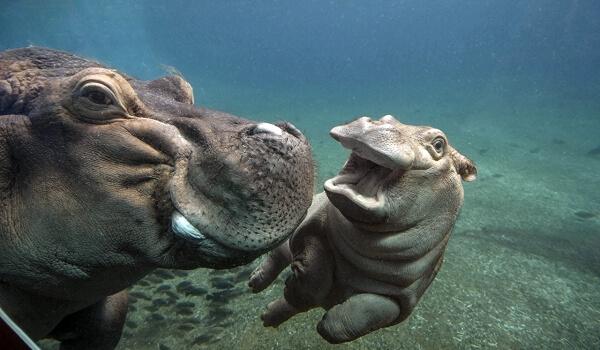 Фото: Бегемот в воде