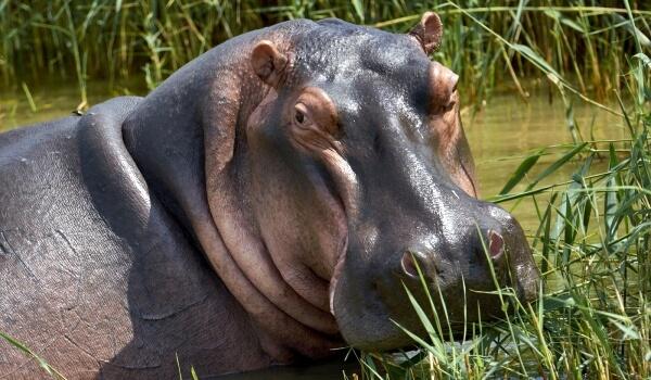 Фото: Большой бегемот