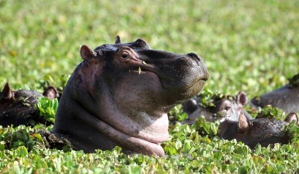 Фото: Животное бегемот