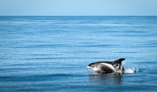 Фото: Беломордый дельфин