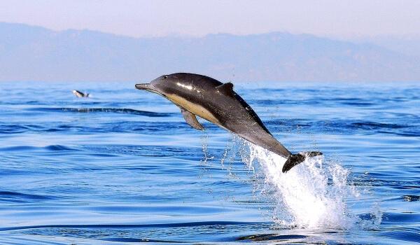 Фото: Беломордый дельфин из Красной книги