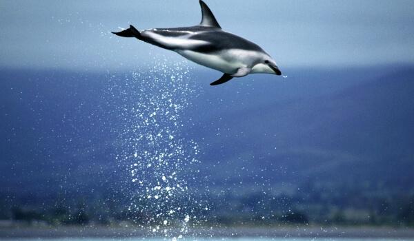Фото: Беломордый дельфин в России