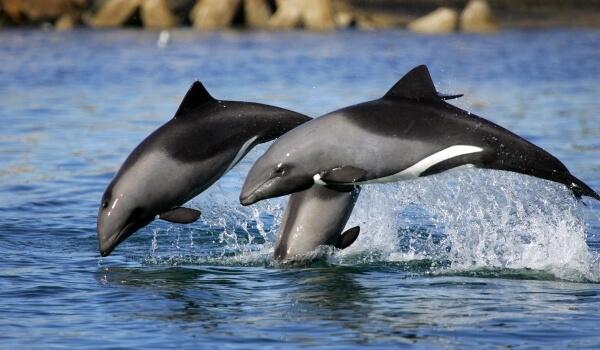 Фото: Беломордые дельфины