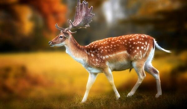 Фото: Белохвостый олень