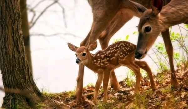 Фото: Детеныш белохвостого оленя