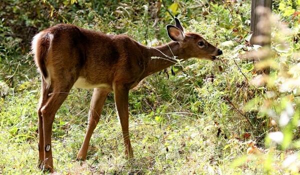 Фото: Животное белохвостый олень