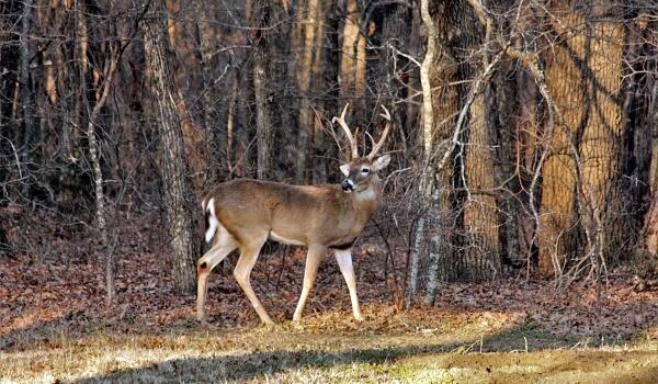 Фото: Белохвостый олень в лесу