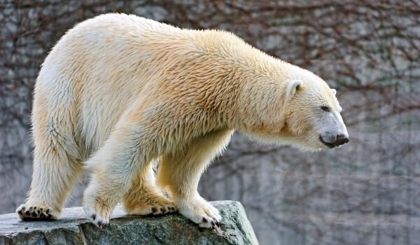 Фото: Животное белый медведь