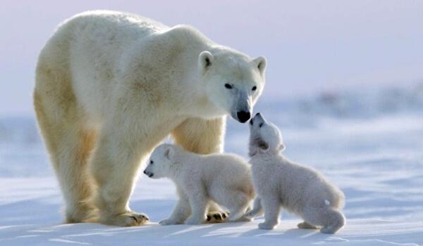 Фото: Детеныши белого медведя