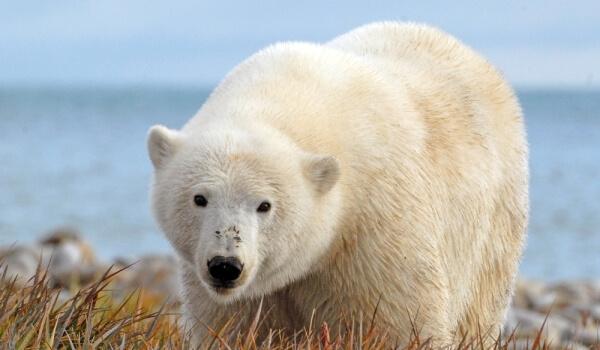 Фото: Белый северный медведь