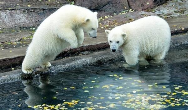 Фото: Белый медведь из Красной книги
