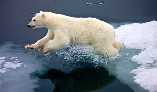 Фото: Большой белый медведь