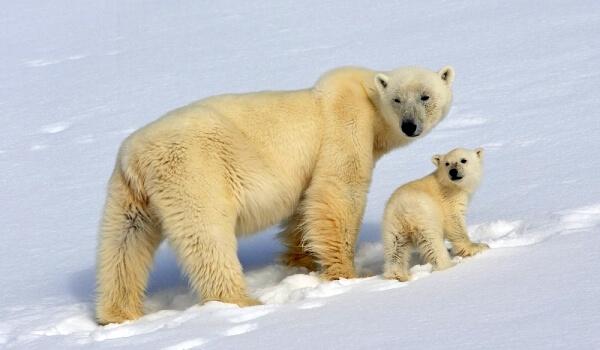 Фото: Белый медведь Красная книга