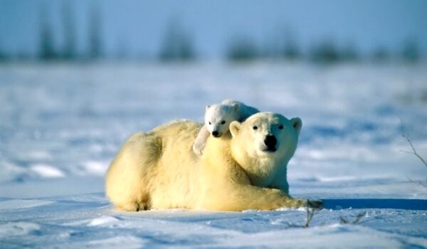 Фото: Сибирский белый медведь