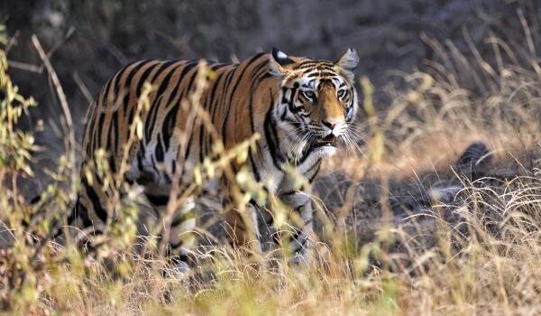 Фото: Бенгальский тигр Индия