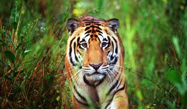 Фото: Бенгальский тигр в природе
