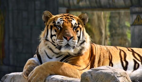 Фото: Бенгальский тигр в России