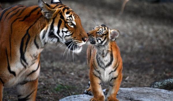 Фото: Бенгальский тигр