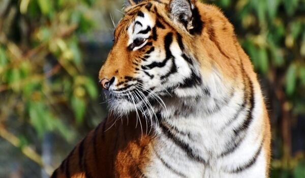 Фото: Бенгальский тигр из Красной книги