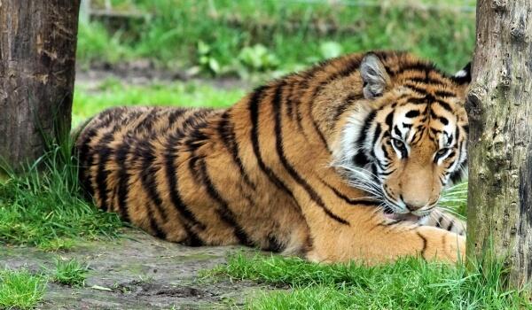 Фото: Индийский бенгальский тигр