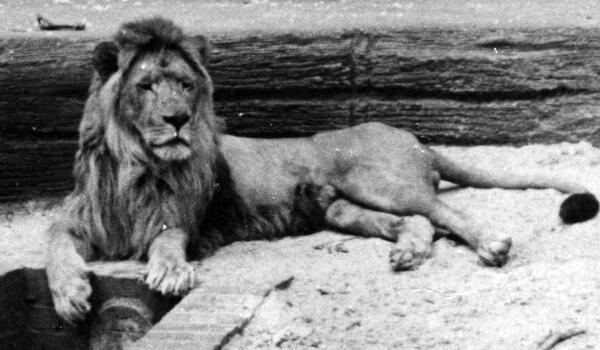 Фото: Последний берберийский лев