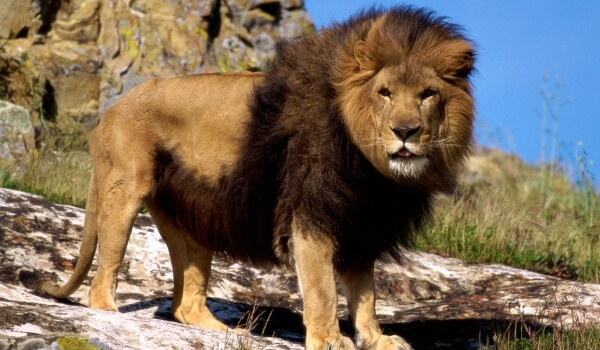 Фото: Берберийский лев