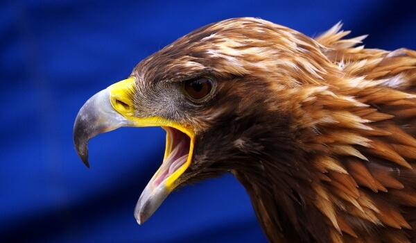 Фото: Птица беркут