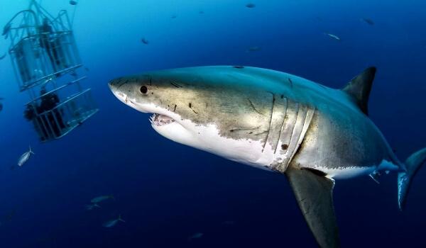 Фото: Гигантская белая акула