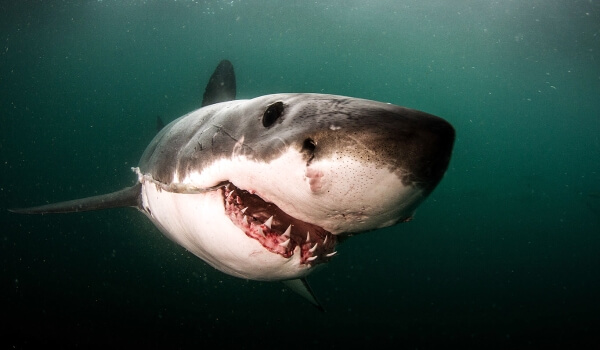 Фото: Зубы белой акулы